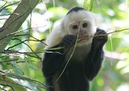 Circuito Costa Rica | Mono capuchino