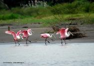 Circuito Costa Rica | Espátulas rosadas, aves de Costa Rica