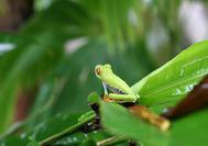 Circuito Costa Rica | Rana verde de ojos rojos, típica de la zona del caribe