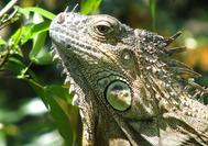 Circuito Costa Rica | Iguana en Tortuguero