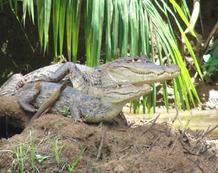 Viajes a Costa Rica | Cocodrilos