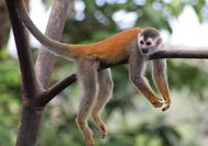 Circuito Costa Rica | Mono titi