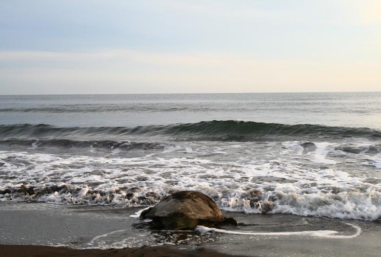 Costa Rica Turismo | Tortuga marina